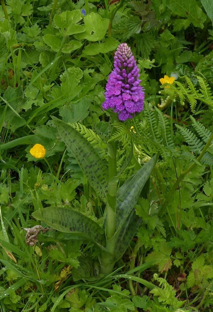 Northern Marsh Orchid hybrid
