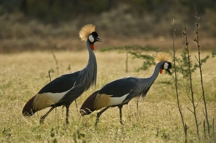 Lake Baringo,   Grey   Crowned Crane