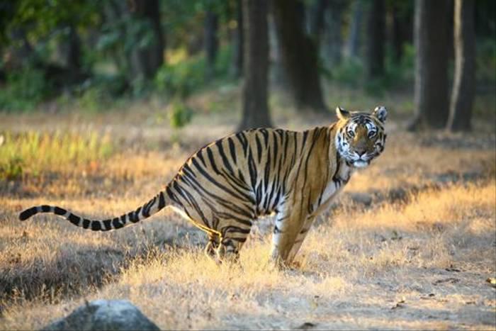 Bengal Tiger (Raghu Kulkarni)