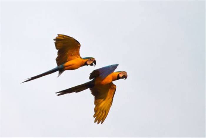 Blue and Yellow Macaw (Mike and Karen Galtry)