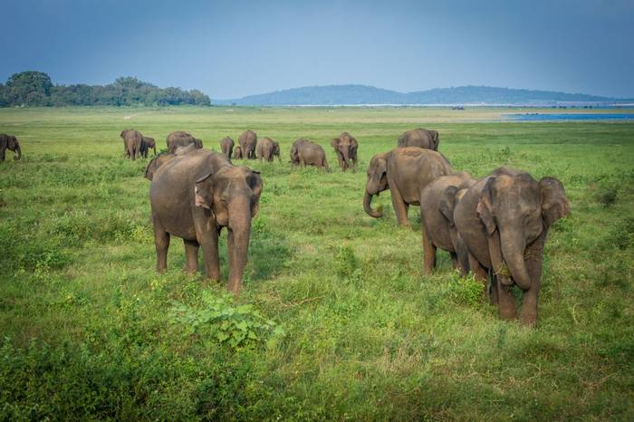 Asian Elephant, Minneriya, Sri Lanka shutterstock_788446468.jpg
