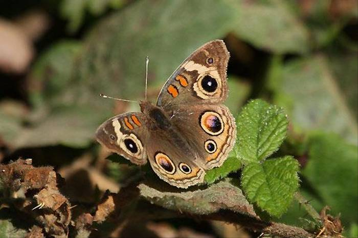 Common Buckeye (Peter Dunn)