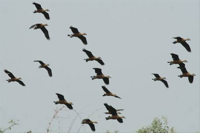 Lesser Whistling Ducks (Julian Thomas)