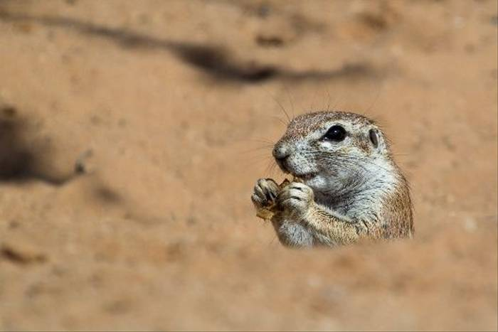 Ground Squirrel (John Davies)