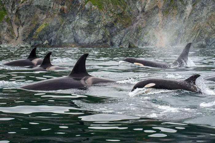 Orcas, Kamchatka, Russia Shutterstock 751182835