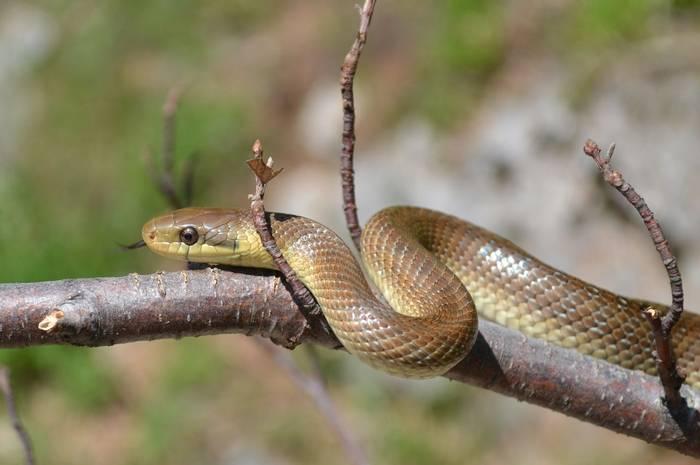 Aesculapian Snake, Gerard Gorman