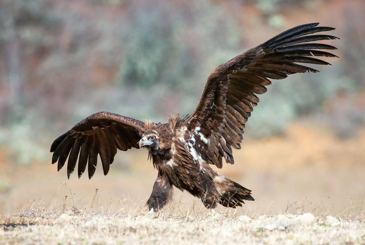 Cinereous Vulture Shutterstock 1167415750