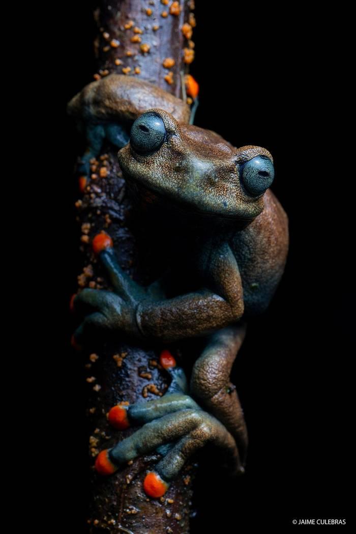 Linda's Treefrog (Hyloscirtus lindae) - Jaime Culebras