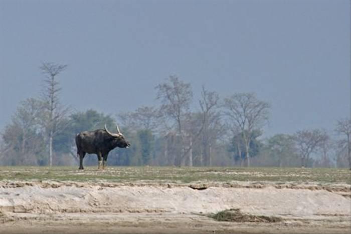 Wild Water Buffalo, Koshi (John Keighley)