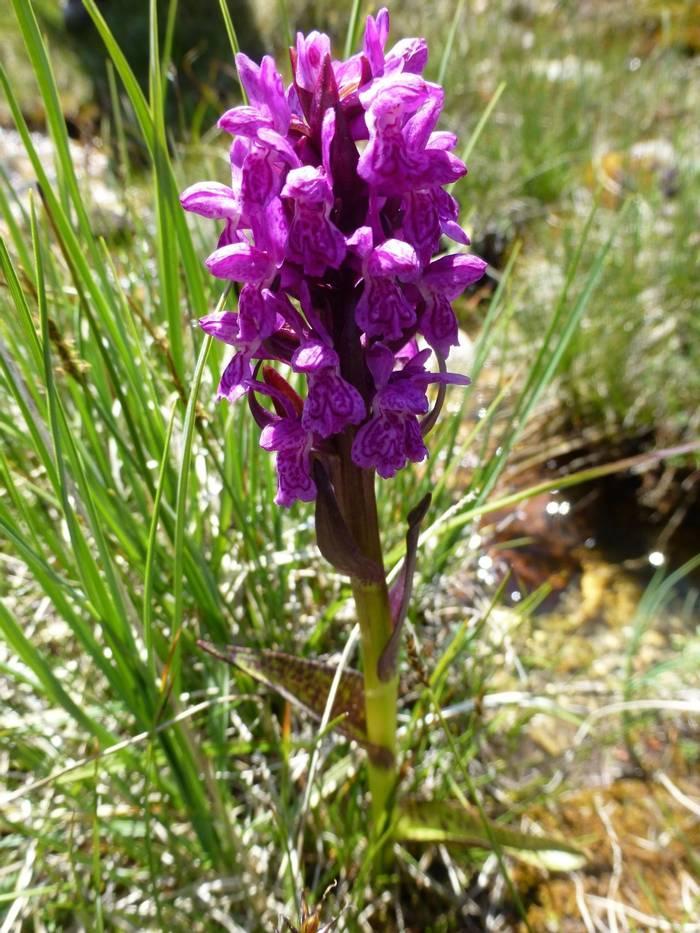 Flecked Marsh Orchid (Kerrie Porteous)
