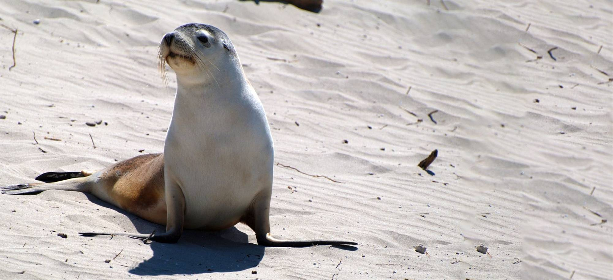 Kangaroo Island   Sea Lion   Itinerary Desktop