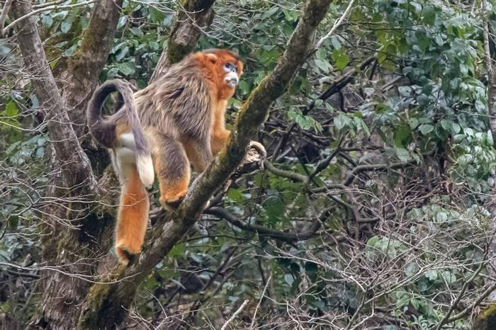 Golden Snub Nosed Monkey (Tim Melling)