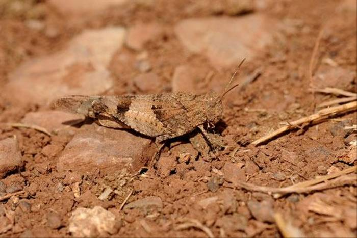 Grasshopper (David Morris)