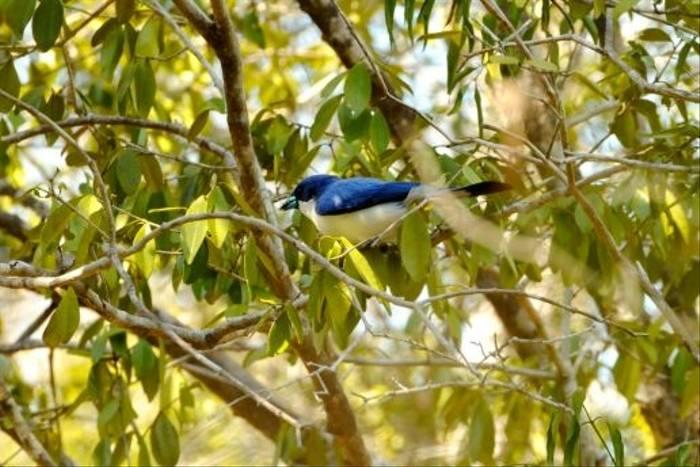Blue Vanga, Kirindy (Stephen Woodham)