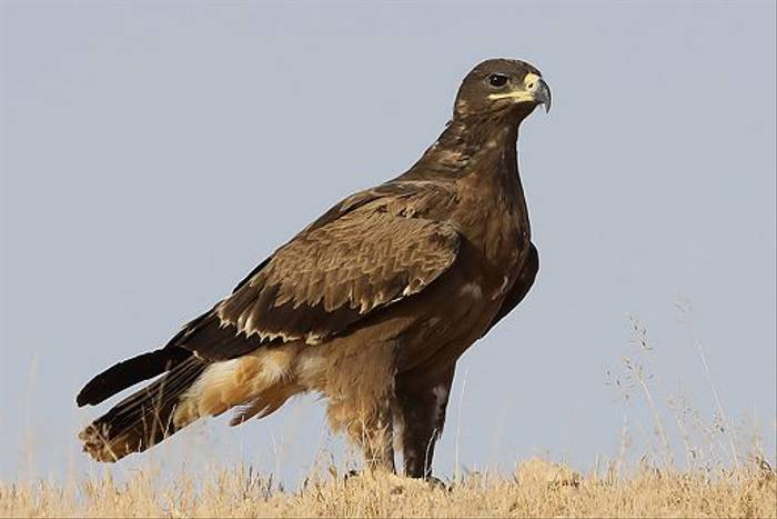 Steppe Eagle (Chris-Ward)-2