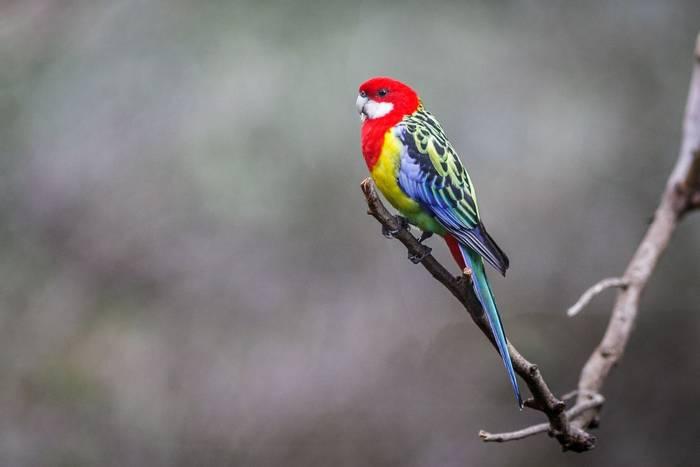 Eastern Rosella Australia shutterstock_460056295.jpg
