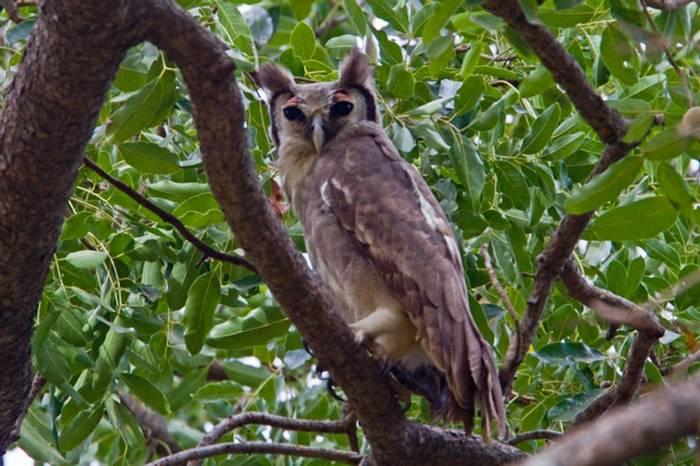 Verraux'S Eagle Owl Gambia  11.10   1