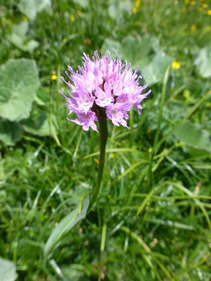 Traunsteinera globosa (Round-headed Orchid) (Kerrie Porteous)