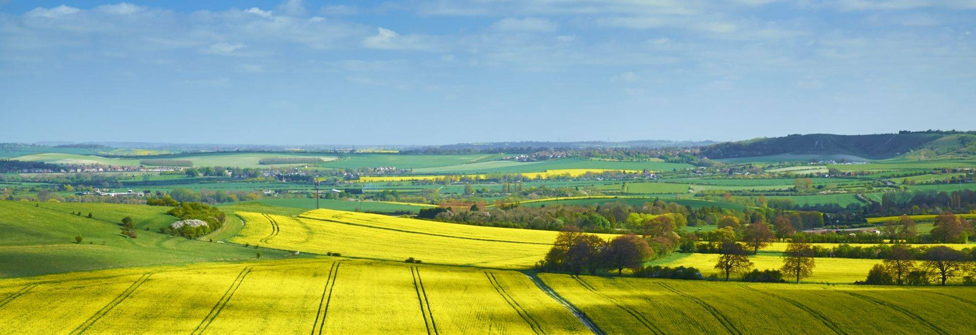 A path/farm track crosses a vast field of bright yellow rapeseed/Canola plant flowers in the Chiltern Hills, Buckinghamshire.