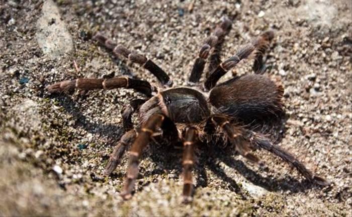Baboon Spider (Dani Free)