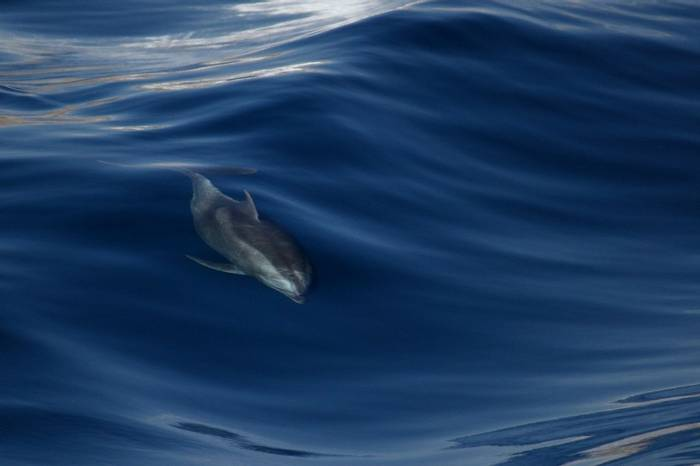 Bottlenose Dolphin (Dave Brotton)