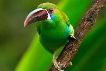 Crimson-rumped Toucanet by Christine Miller
