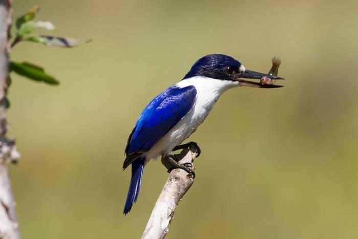 Forest kingfisher australia shutterstock_156156770.jpg