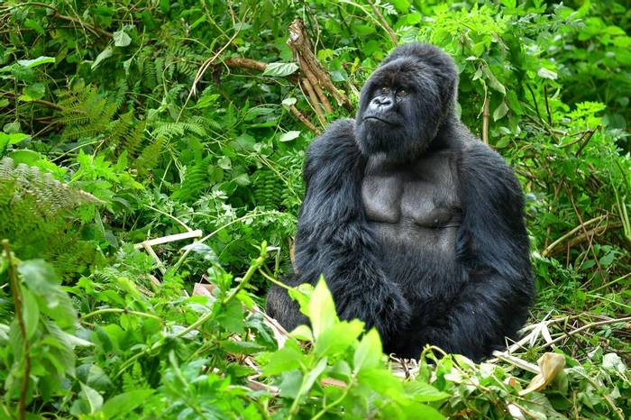 Silverback Mountain Gorilla Rwanda  Shutterstock 547835170