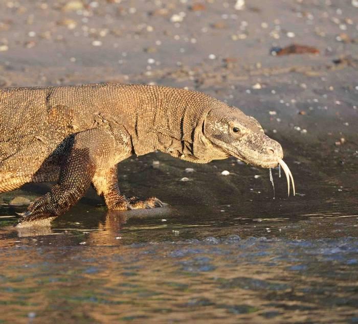 Komodo Dragon (Chas Anderson)