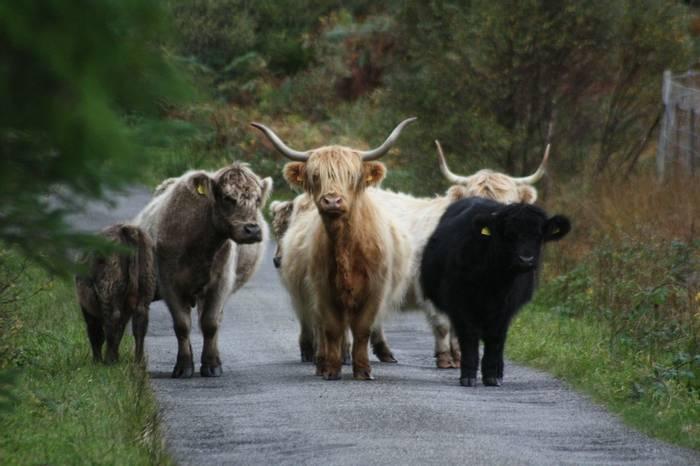 Hghland Cattle (Frances Madle)