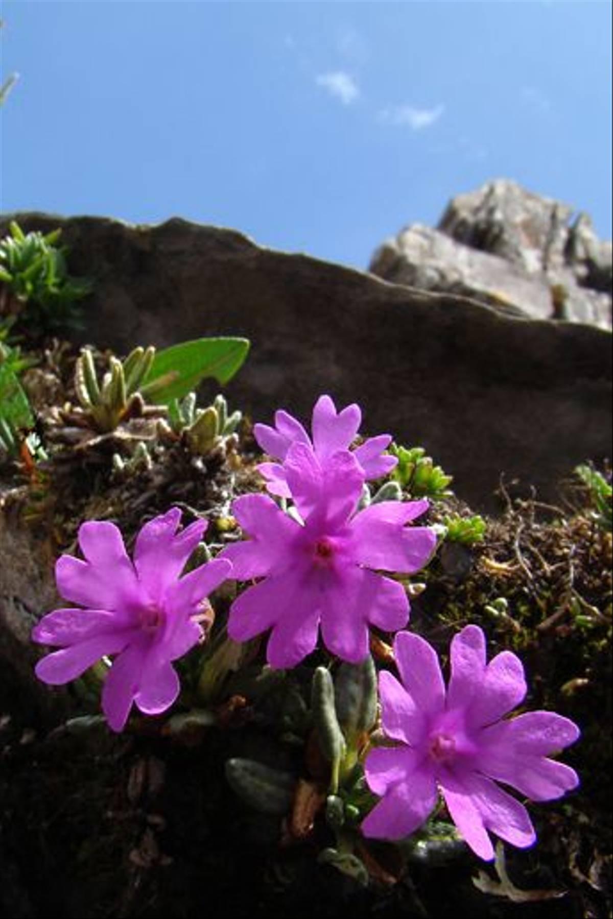 Primula Dryadifolia (Gordon Rae)