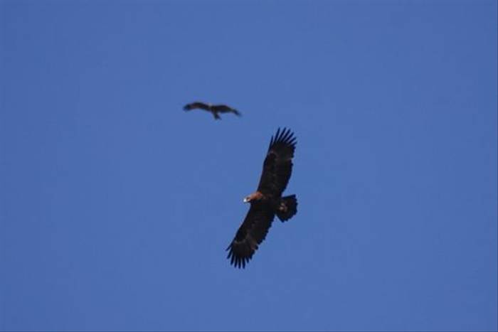 Black Kite and Steppe Eagle