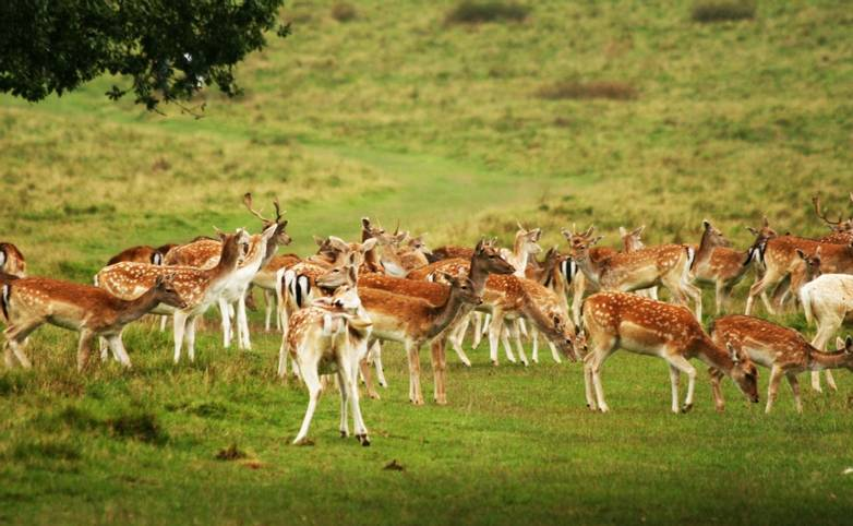 Fallow_Deer_Petworth_South_Downs.jpg