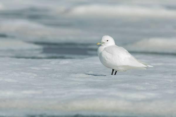 Ivory Gull shutterstock_1295477371.jpg