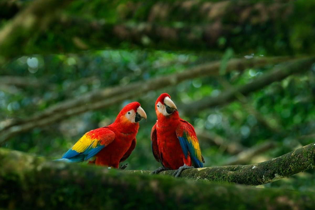Scarlet Macaws, Colombia Shutterstock 631165448