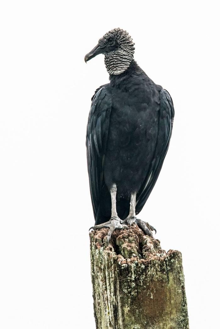 Back Vulture (Ian Talboys)