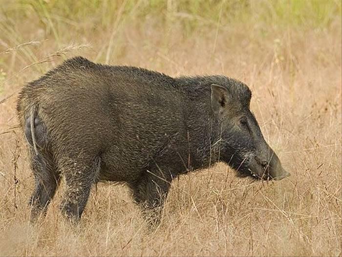 Wild Boar (Paul Marshall)