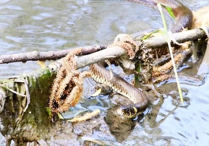 Grass Snake (Mark Elliot)