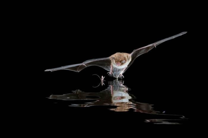 Daubenton's Bat Myotis daubentonii shutterstock_1459723436.jpg