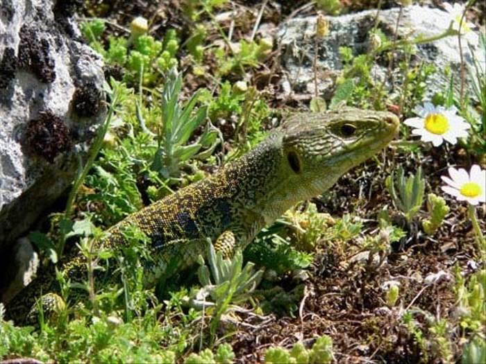 Eyed Ocellated Lizard (Nacho Zubelzu)