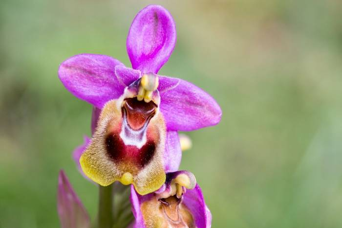 Sawfly Orchid Shutterstock 209359225