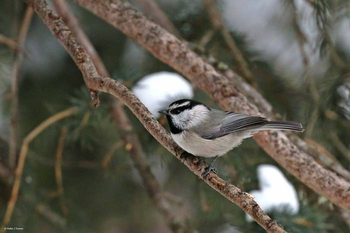 Mountain chickadee_(Peter Dunn)