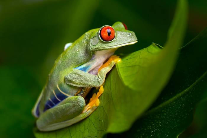 Red-eyed tree frog (Agalychnis callidryas)