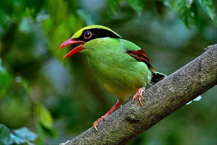Green Magpie (S. Y. Phanich)