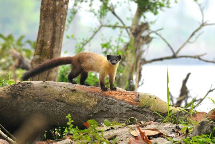 Yellow-throated Marten, Nameri National Park shutterstock_451952641.jpg