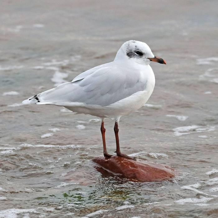 Mediteranean Gull (Mike Langman).jpg