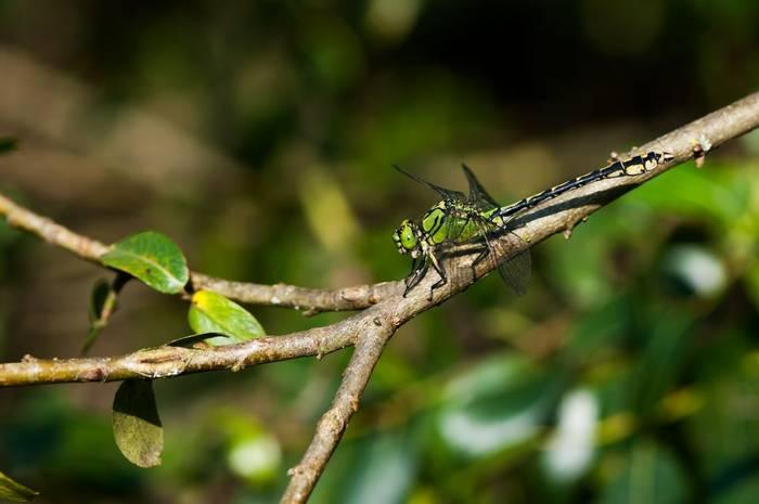 Green Snaketail shutterstock_1259330965.jpg