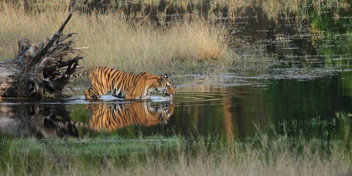 Tiger (Dave Brotton)