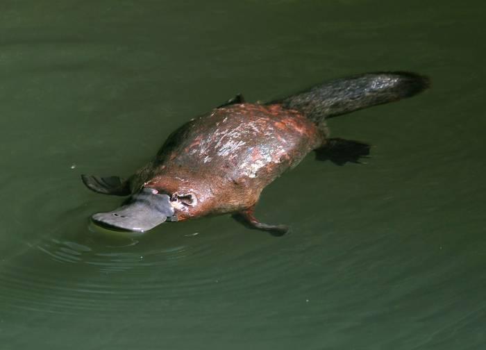 Duck-billed Platypus, Australia, shutterstock.jpg