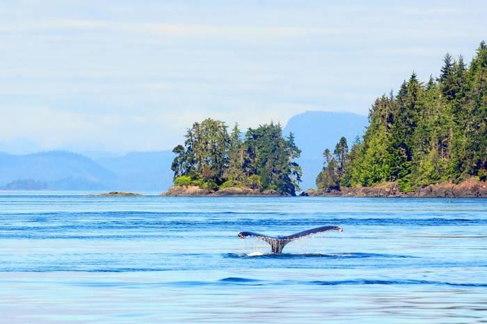 Humpback whale, vancouver island shutterstock_93809500.jpg